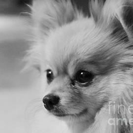 Black and white Portrait of Pixie the Pomeranian by Jennifer E Doll