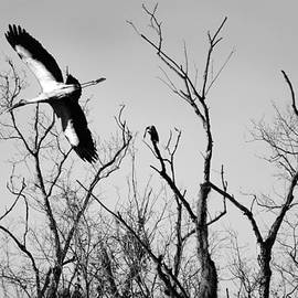 Black and White- Wood Stork by Louise Hill