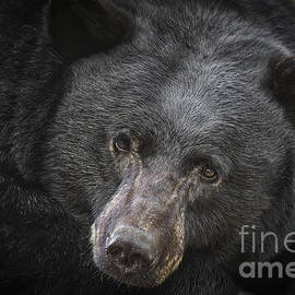 Mitch Shindelbower - Black Bear Portrait