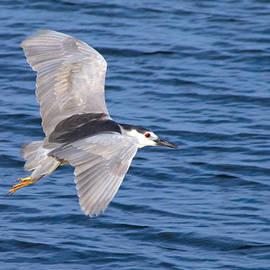 Greg Graham - Black Crowned Night Heron in Flight