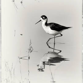 Priscilla Burgers - Black-necked Stilt at Carson Lake Wetlands