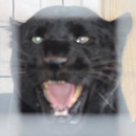John Telfer - Black Panther Caged and Angry