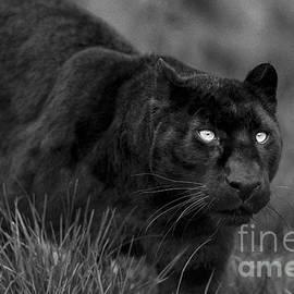 Philip Pound - Black Panther