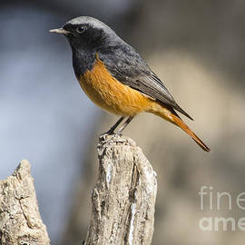 Pravine Chester - Black Redstart