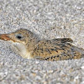 Black Skimmer Chick by Bill Dodsworth