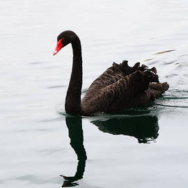 Black Swan by Songquan Deng