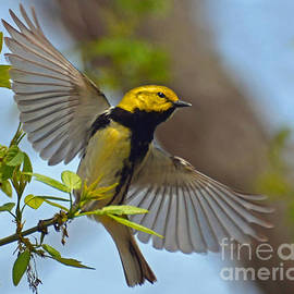 Black Throated Green Warbler by Rodney Campbell