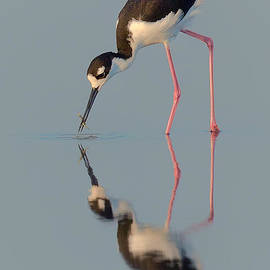 Jerry Fornarotto - Blacknecked Stilt with Reflection