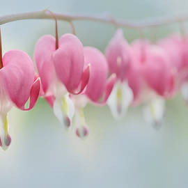 Jennie Marie Schell - Bleeding Heart Pink Flowers in a Row