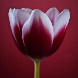 Artecco Fine Art Photography - Abstract Red White Flowers Tulips Macro  Photography Art