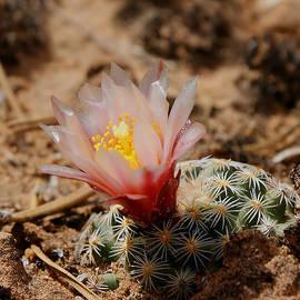 Ernie Echols - Blooming Cactus