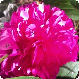 Blooming Today. #peony #flower #bloom