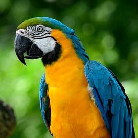 Imran Ahmed - Blue and yellow gold macaw parrot
