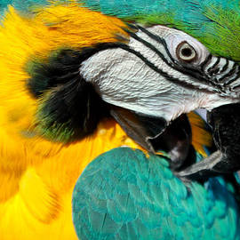 Blue and Yellow Macaw  by Venetia Featherstone-Witty