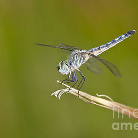 Bryan Keil - Blue Dasher on the edge