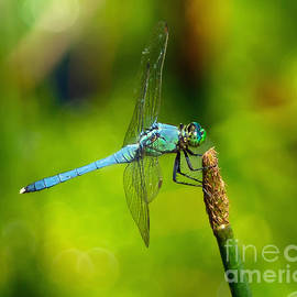 Landed Blue Dragonfly by Stephen Whalen