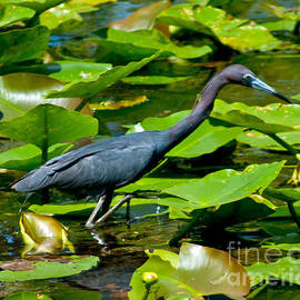 Reddish Egret Among The Lily Pads by Stephen Whalen