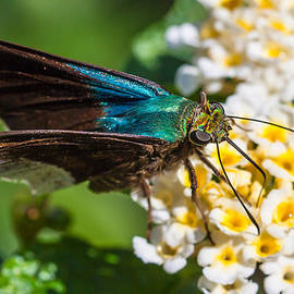 Blue flasher butterfly by Craig Lapsley
