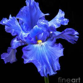Blue Iris by Robert Bales