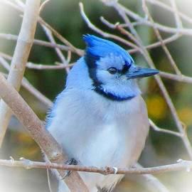 MTBobbins Photography - Blue Jay Blue
