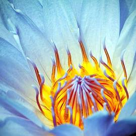 Blue Lotus by Cynthia Guinn