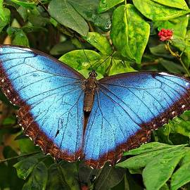 MTBobbins Photography - Blue Morpho Beauty