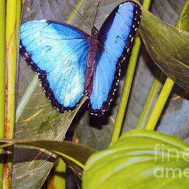 Blue Morpho by Bob Phillips