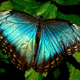 Rdm-Margaux Dreamations - Blue Morpho Butterfly