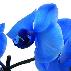 Blue Phalaenopsis Orchid by Bill Swartwout Fine Art Photography