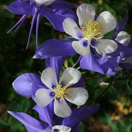 Blue Saphire Columbine by Bruce Bley