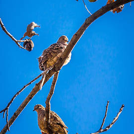 Blue Skies Pecans And Doves by Melinda Ledsome