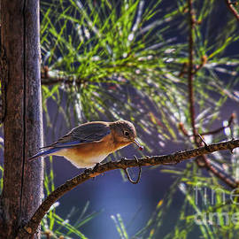 Bluebird Grabs A Seed by Barbara Bowen