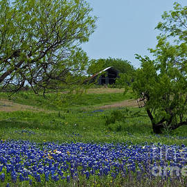 Bluebonnets and Old Barn by Lisa Porier