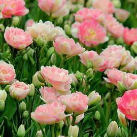 Rosanne Jordan - Blushing Pink Tulips