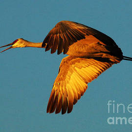 Bosque Del Apache Sandhill Crane Golden Light by Bob Christopher