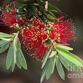 Bottlebrush Flowers Australian by Joy Watson