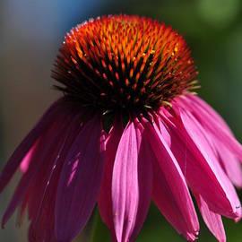 Tracy Lamus - Bright Echinacea Flower