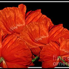 Brilliant Red Poppy Flowers by Carol F Austin