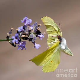 Brimstone flying to the next Lavender by Torbjorn Swenelius