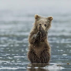 Brown Bear Cub by D Robert Franz