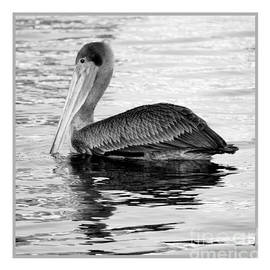 Carol Groenen - Brown Pelican - Black and White