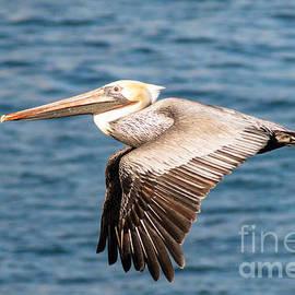 Darleen Stry - Brown Pelican Flying