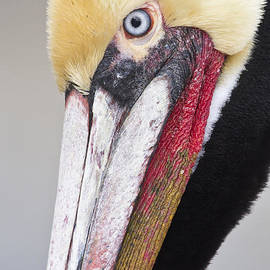 Bryan Keil - Brown Pelican headshot
