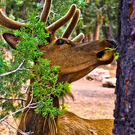 Bob and Nadine Johnston - Browsing Red Deer in the Grand Canyon