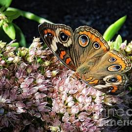 Sharon Woerner - Buckeye Butterfly on Sedum