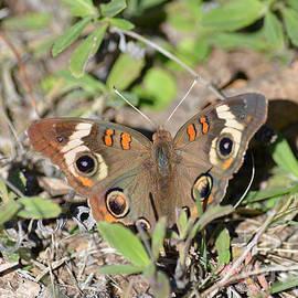 Ruth  Housley - Buckeye Butterfly