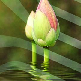 Kathy Baccari - Budding Lotus