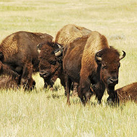 Buffalo on a Yellow Prairie by Ted Guhl