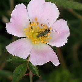 Christiane Schulze Art And Photography - Bug On Dogrose