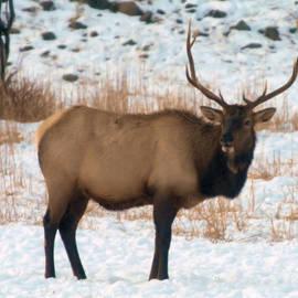 Jeff Swan - Bull Elk